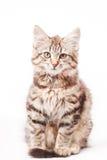 Little kitten Stock Photography
