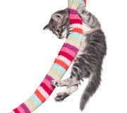 Little kitten. On the knitted scarf isolated on white background Royalty Free Stock Image