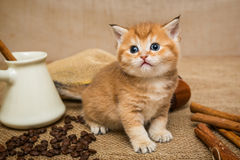 Little Kitten And Coffee Stock Image