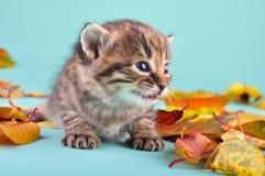 Little kitten in autumn leaves Stock Photography