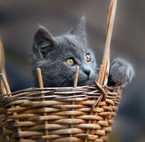 Little kitten in a basket. Little gray kitten in a basket Stock Photos
