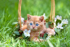 Little kitten in a basket. Little cute kitten sitting in a basket on the grass Stock Image