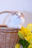Little kitten in a basket and flowers Stock Photography