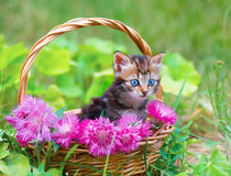 Little kitten in a basket with flowers. Cute little kitten in a basket with pink flowers outdoor Royalty Free Stock Image