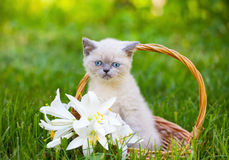 Little kitten in a basket with flowers Stock Photo