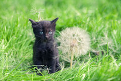 Little kitten with big dandelion Stock Image
