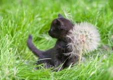 Little kitten with big dandelion Stock Photos