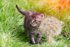 Little kitten with big dandelion Royalty Free Stock Photography