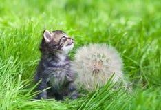Little kitten with big dandelion Royalty Free Stock Photo