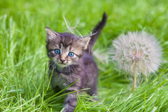 Little kitten with big dandelion Royalty Free Stock Photo