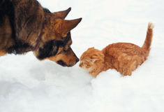 Little kitten and big dog Stock Image