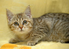 Little kitten with big  eyes Royalty Free Stock Image