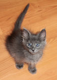 Little kitten with blue eyes Royalty Free Stock Photography