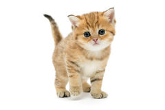 Little kitten breed British Royalty Free Stock Images