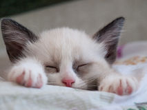 Little kitten breed snowshoe sleeping on pad Royalty Free Stock Photos