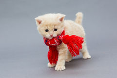 Little kitten British breed with a beautiful scarf. On a grey background royalty free stock image