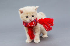 Little kitten British breed with a beautiful scarf. On a grey background stock photography