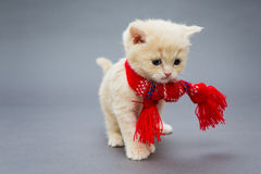 Little kitten British breed with a beautiful scarf. On a grey background stock photos