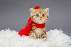 Little kitten in a red scarf. Little kitten of British marble breed in a red scarf on a fur stock photo