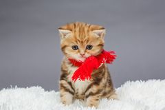 Little kitten in a red scarf. Little kitten of British marble breed in a red scarf on a fur royalty free stock photos