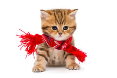 Little kitten British marble in a red scarf Royalty Free Stock Photography