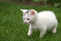 Little kitten carefully taking first steps Stock Images