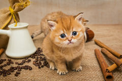 Little kitten  and  coffee Stock Photography