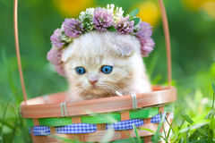 Little kitten crowned with a chaplet of clover. Cute cream kitten crowned with a chaplet of clover in a basket Stock Images