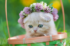 Little kitten crowned with a chaplet of clover. Portrait of cute little kitten crowned with a chaplet of clover Stock Images