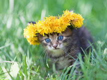 Little kitten crowned with a chaplet of dandelion Stock Images