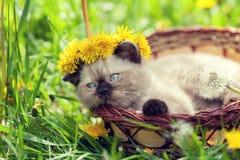 Little kitten crowned chaplet from dandelion flowers Royalty Free Stock Photo