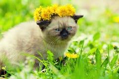 Little kitten crowned dandelion chaplet Stock Images