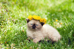Little kitten crowned dandelion chaplet Royalty Free Stock Photo
