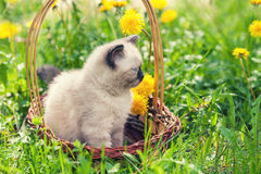 Little kitten in the dandelion flowers in sunny day Stock Photos
