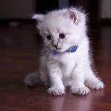 Little kitten developing world. Little fluffy kitten developing world with interest royalty free stock photo