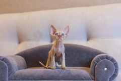 Little kitten Devon Rex cat sitting on blue sofa stock photos