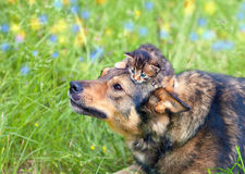 Little kitten on dogs head Royalty Free Stock Image