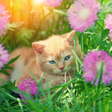 Little kitten in flowers. Small red kitten lying among the flowers in the garden Royalty Free Stock Images