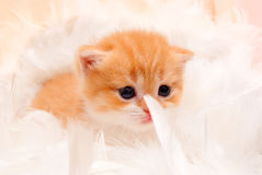 Little kitten in a fluffy feathers Stock Image