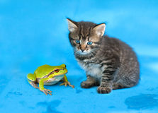 Little kitten and frog. Looking at camera on wet blue background Stock Photography