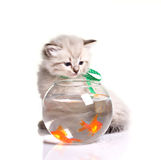 Little kitten and goldfishes Royalty Free Stock Image