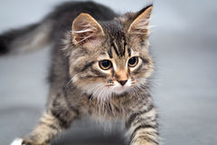 Little kitten on a gray background Royalty Free Stock Image