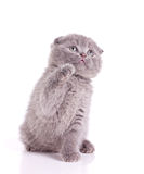 Little kitten gray british Stock Photography