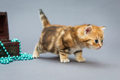 Little kitten  on a grey background Stock Photography