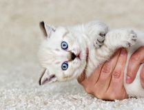 Little kitten in hands. On a fluffy carpet Royalty Free Stock Photography