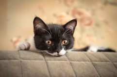 Little kitten hides behind a sofa Stock Photos