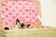 Little kitten is hiding in the laundry basket with the pink background royalty free stock photo