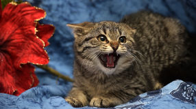 Little kitten hisses stock image
