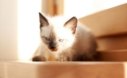 Little kitten in the house, playing Royalty Free Stock Photography