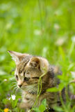 Little kitten on hunting Royalty Free Stock Images